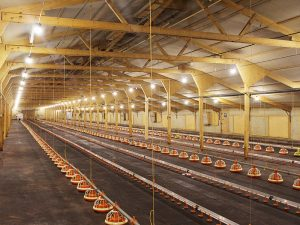 Poultry barn lighting